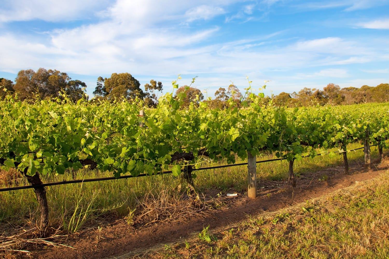 Vineyards in Swan Valley, near Perth, Australia