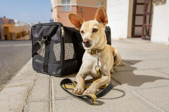 Chihuahua dog in travel carrier bag ready to travel as pet in cabin in plane or airplane as a passanger