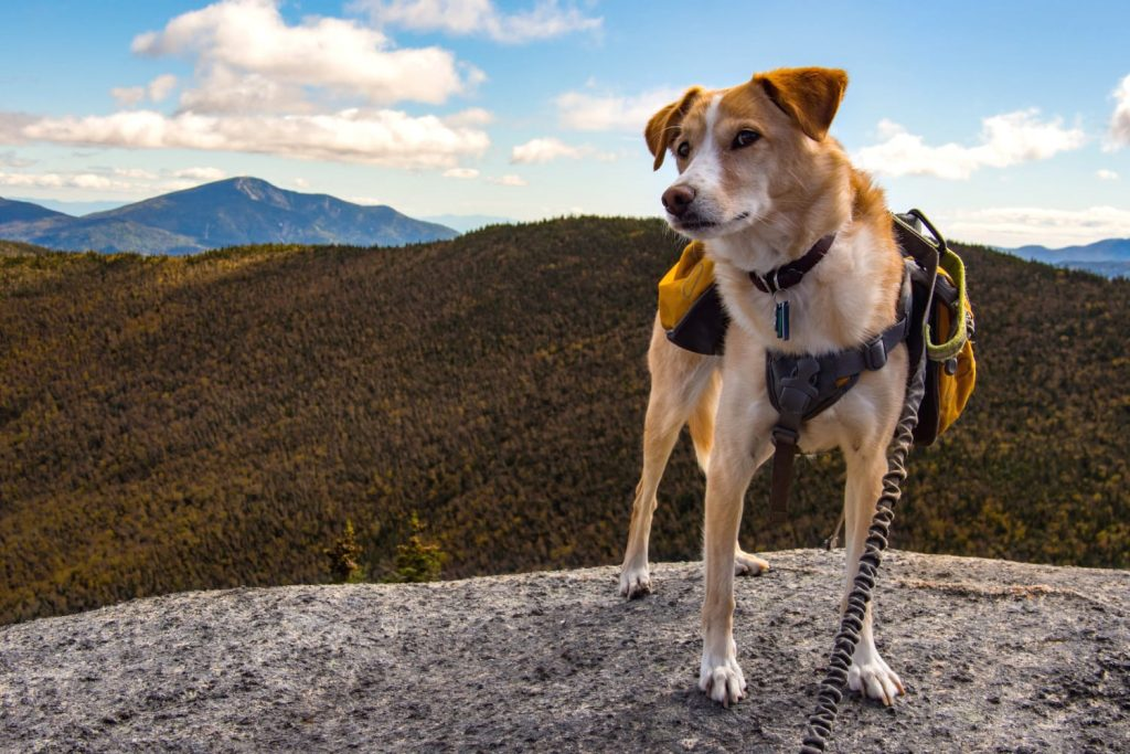 Dog with Hiking Backpack