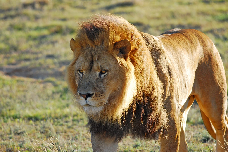 Male lion at Monarto Wildlife Zoo in South Australia