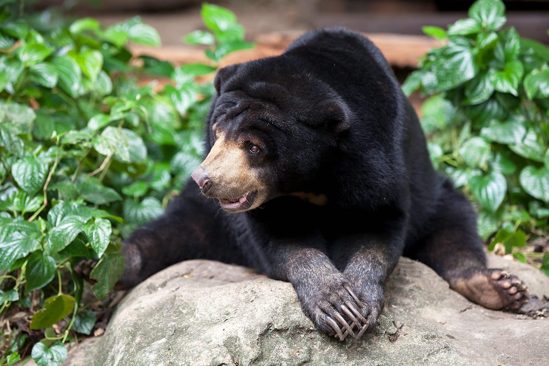 Malayan Sun Bear in Omaha Zoo, Nebraska, USA