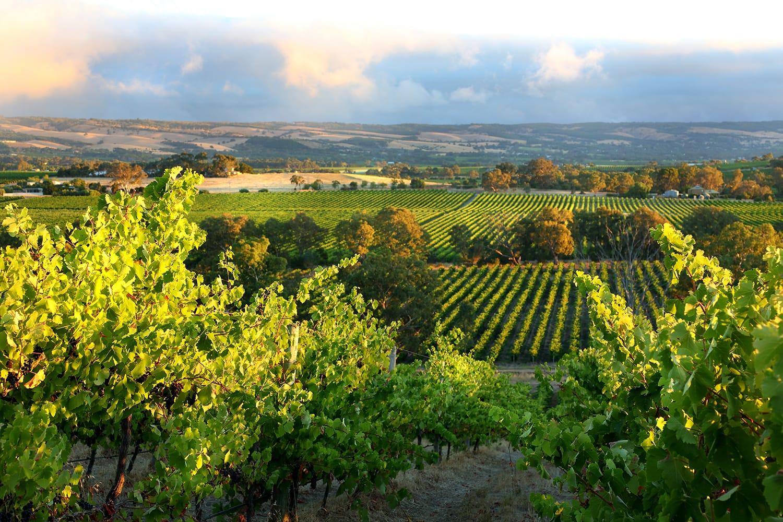 Vineyard McLaren Vale, South Australia