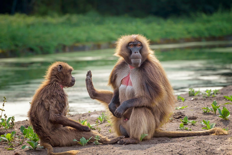 Portrait of monkey gelada, Theropithecus gelada, the bleeding-heart monkey, gelada baboon. Male and female