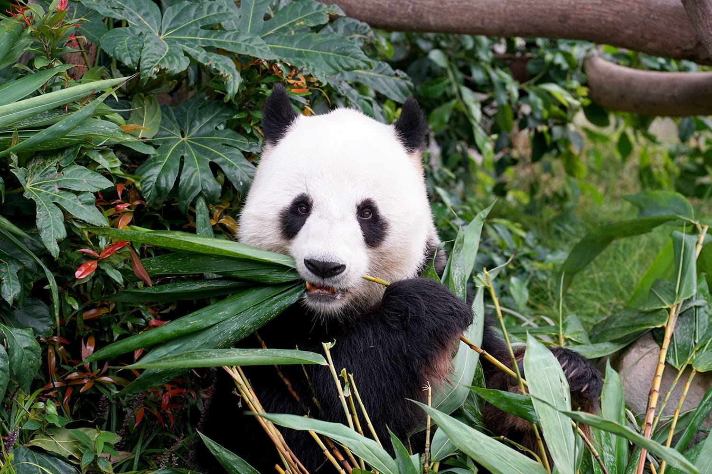 Panda eating bamboo in San Diego Zoo, California, USA