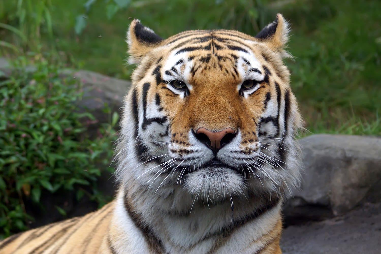"""Siberian """"Amur"""" tiger in the Bronx Zoo, NYC, USA"""