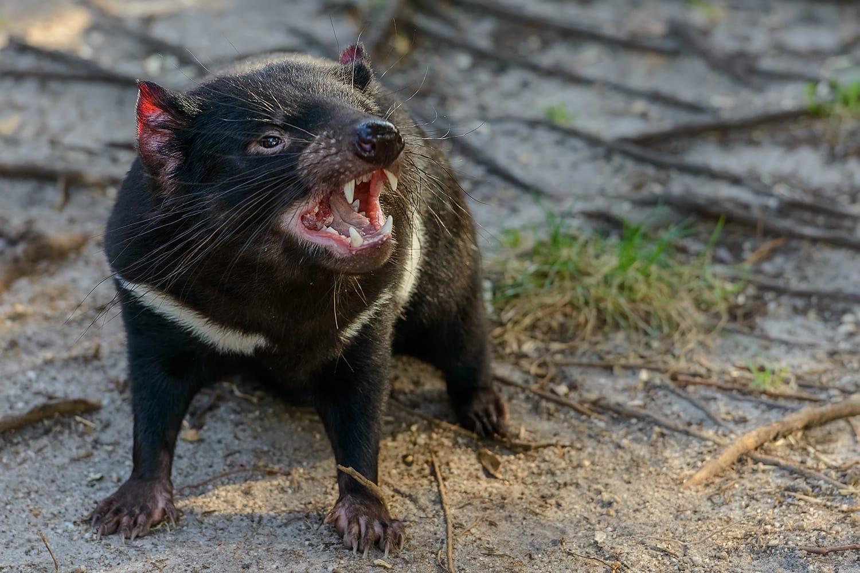 Tasmanian devil (Sarcophilus harrisii) in Australia