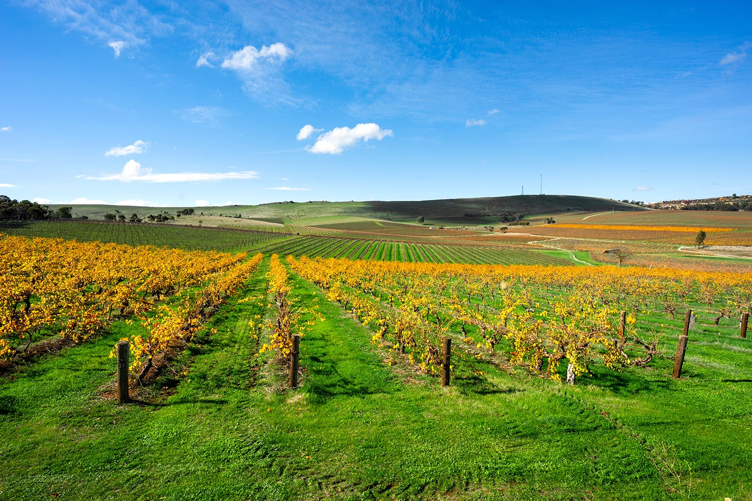 Vineyard Scene from Clare Valley, South Australia