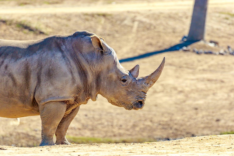 White rhinoceros at San Diego Zoo in California, USA