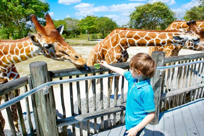 Boy feeding Giraffe at Miami Zoo in Florida, USA