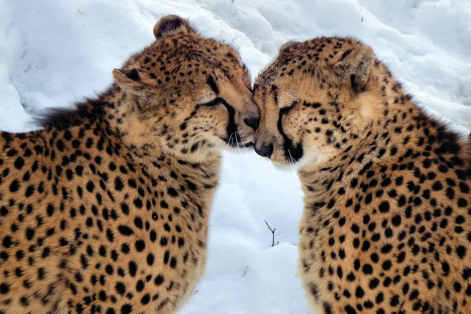 Cheetah brothers at the Cleveland Zoo in Ohio, USA