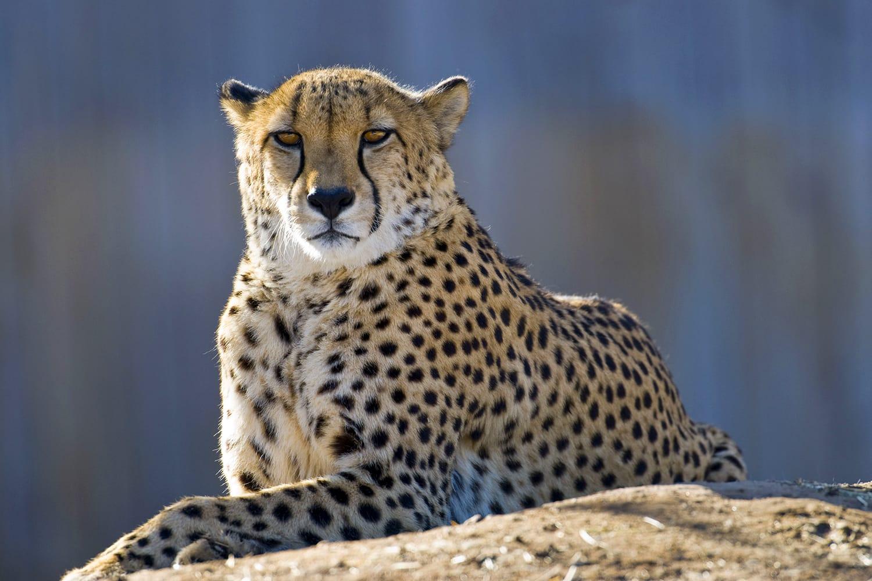 Cheetah at Denver Zoo in Colorado, USA