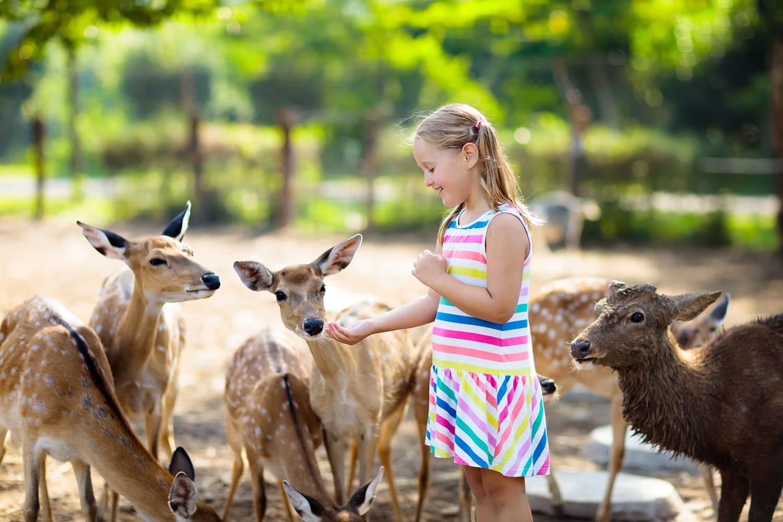 Child feeding wild deer at Woodland Park Zoo in Washington, USA