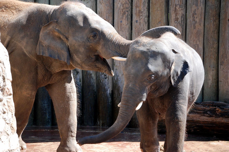 Elephants at Houston Zoo, Texas