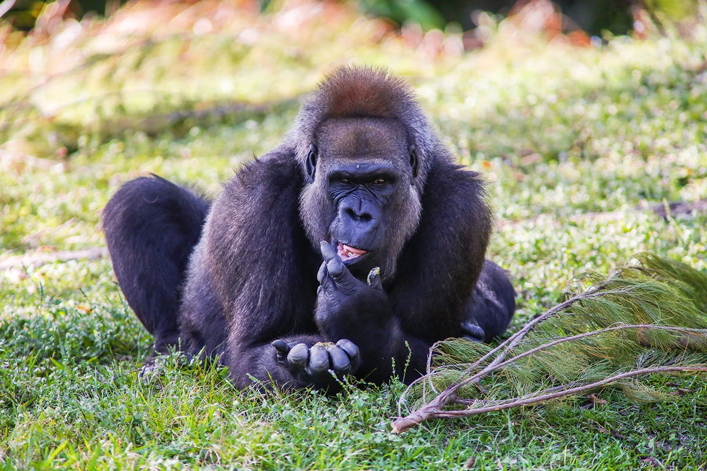Gorilla at Miami Zoo in Florida, USA