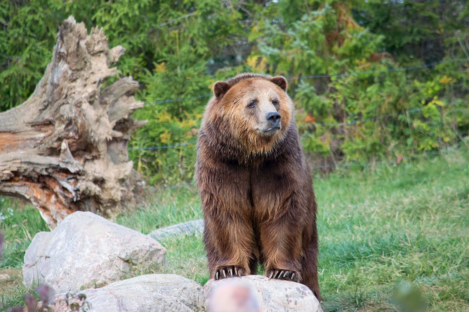 Grizzly Bear at zoo in the US