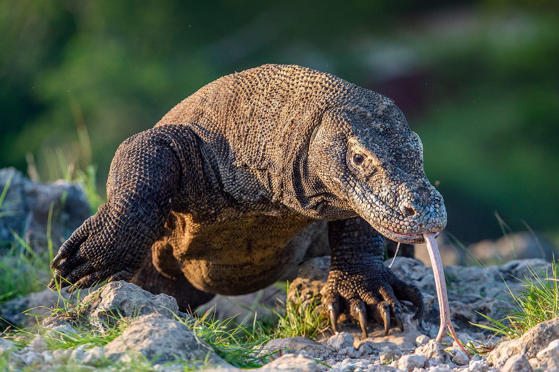 Komodo Dragon on Island Rinca in Indonesia
