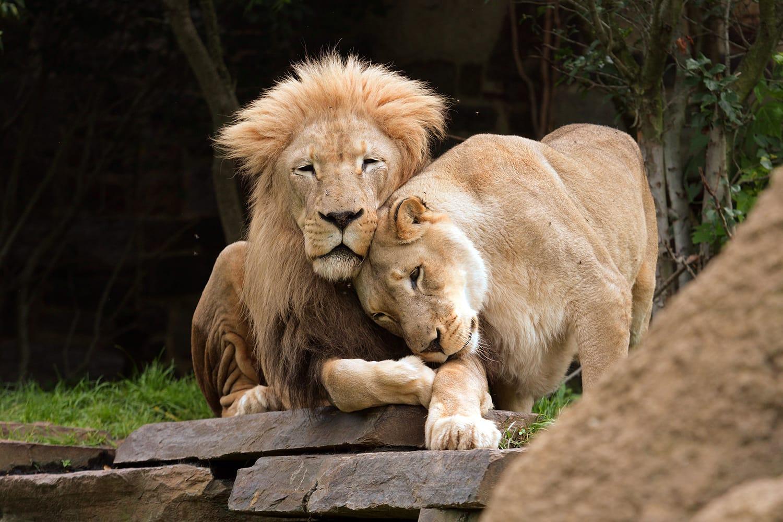 Lions at Philadelphia Zoo in Pennsylvania, USA