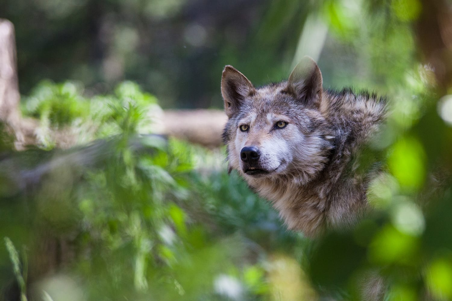 Mexican wolf at Cheyenne Mountain Zoo in Colorado, USA