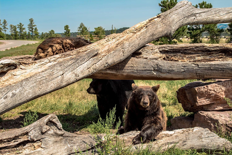 North American Black Bear Climbing on the fallen trees , Bear Country Park, Rapid City, South Dakota, USA