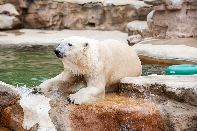 Polar Bear at St. Louis Zoo, Missouri, USA.