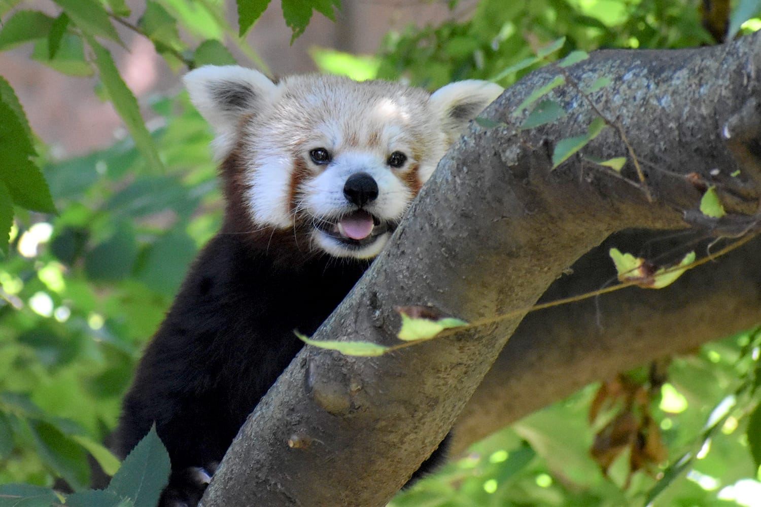 Smiling Red Panda in the Indianapolis Zoo, Indiana, USA