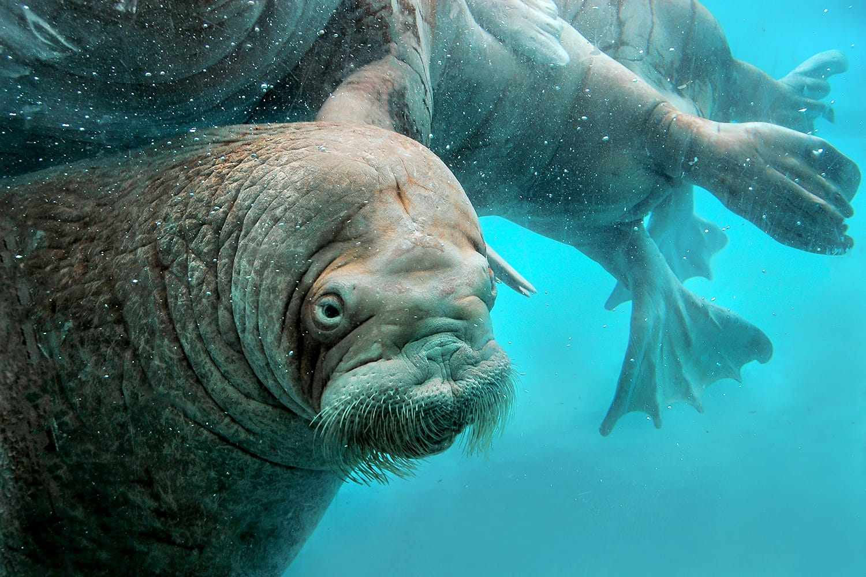 Walrus at Alaska Zoo, USA