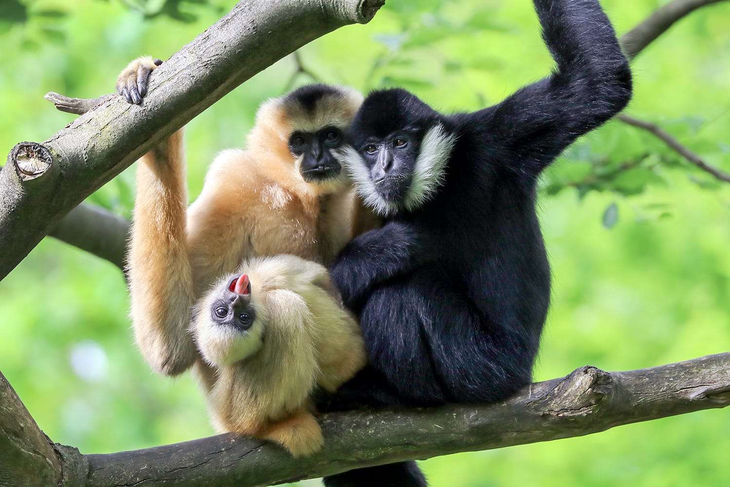 Yellow cheeked gibbon at Fort Worth Zoo in Texas, USA