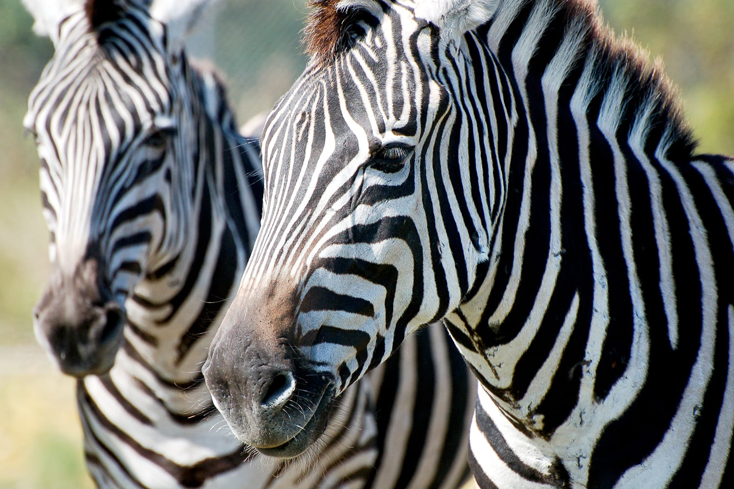 Zebras at Lion Country Park in Florida, USA
