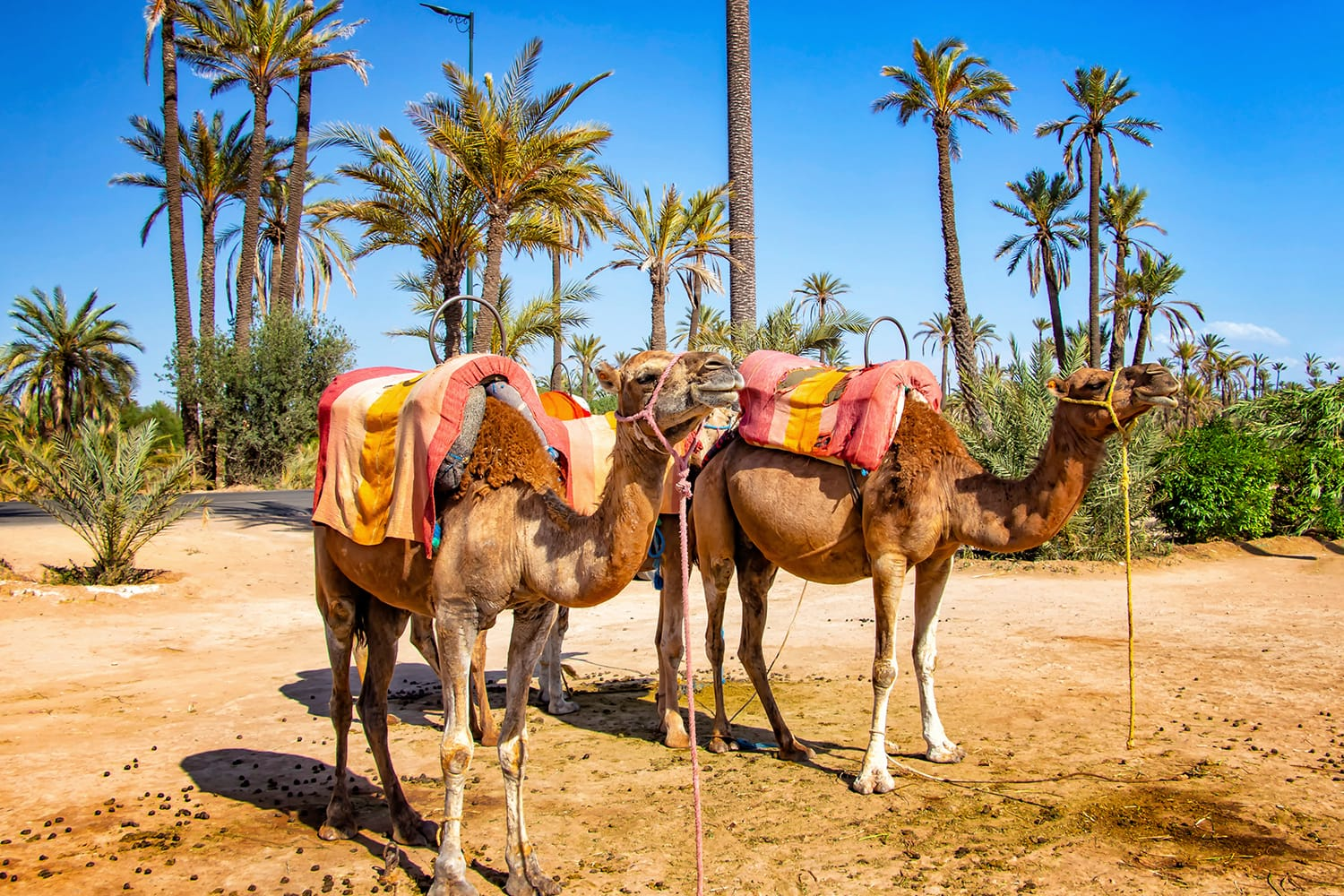 Camels with typical Berber saddles in a Palmeraie near Marrakesh, Morocco