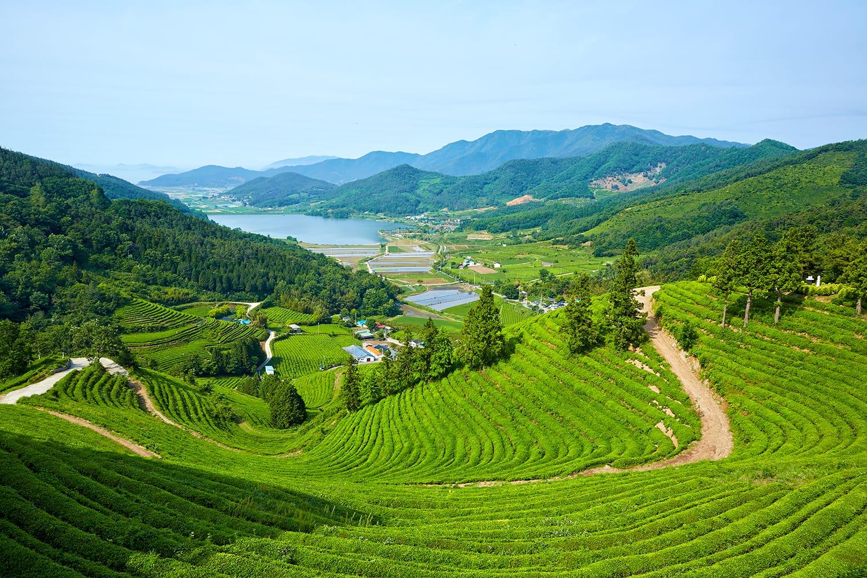 Green Tea Farm in Boseong-gun, South Korea.