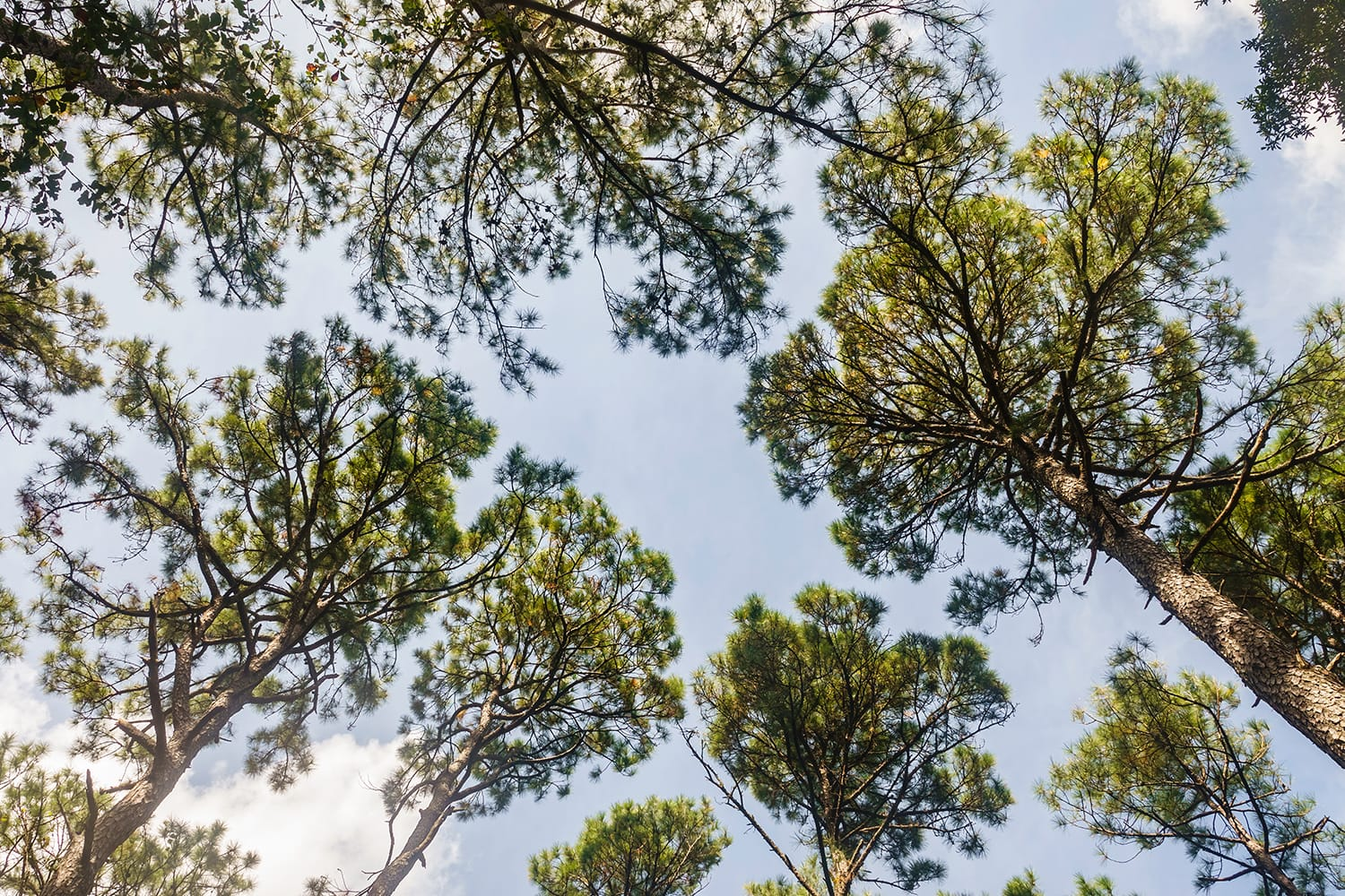 Canopy of tall longleaf pine trees (binomial name: Pinus palustris) at the Jacksonville Arboretum and Gardens in Florida, USA
