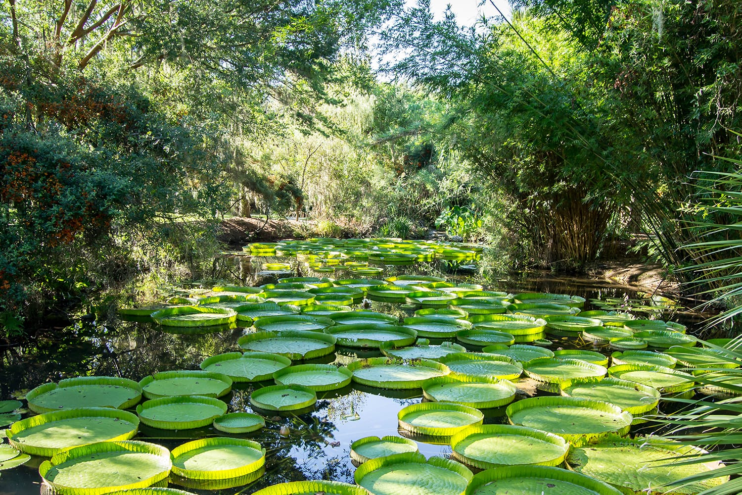 Victoria lily pads in the Kanapaha Garden, Gainesville, Florida, USA