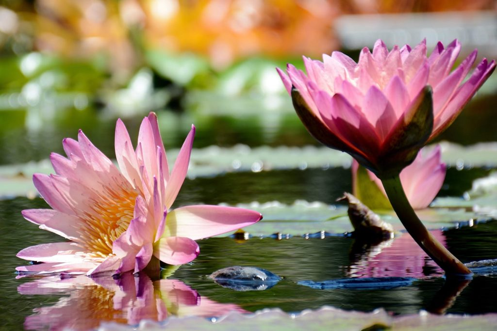 Water lilies in Naples, Florida, USA