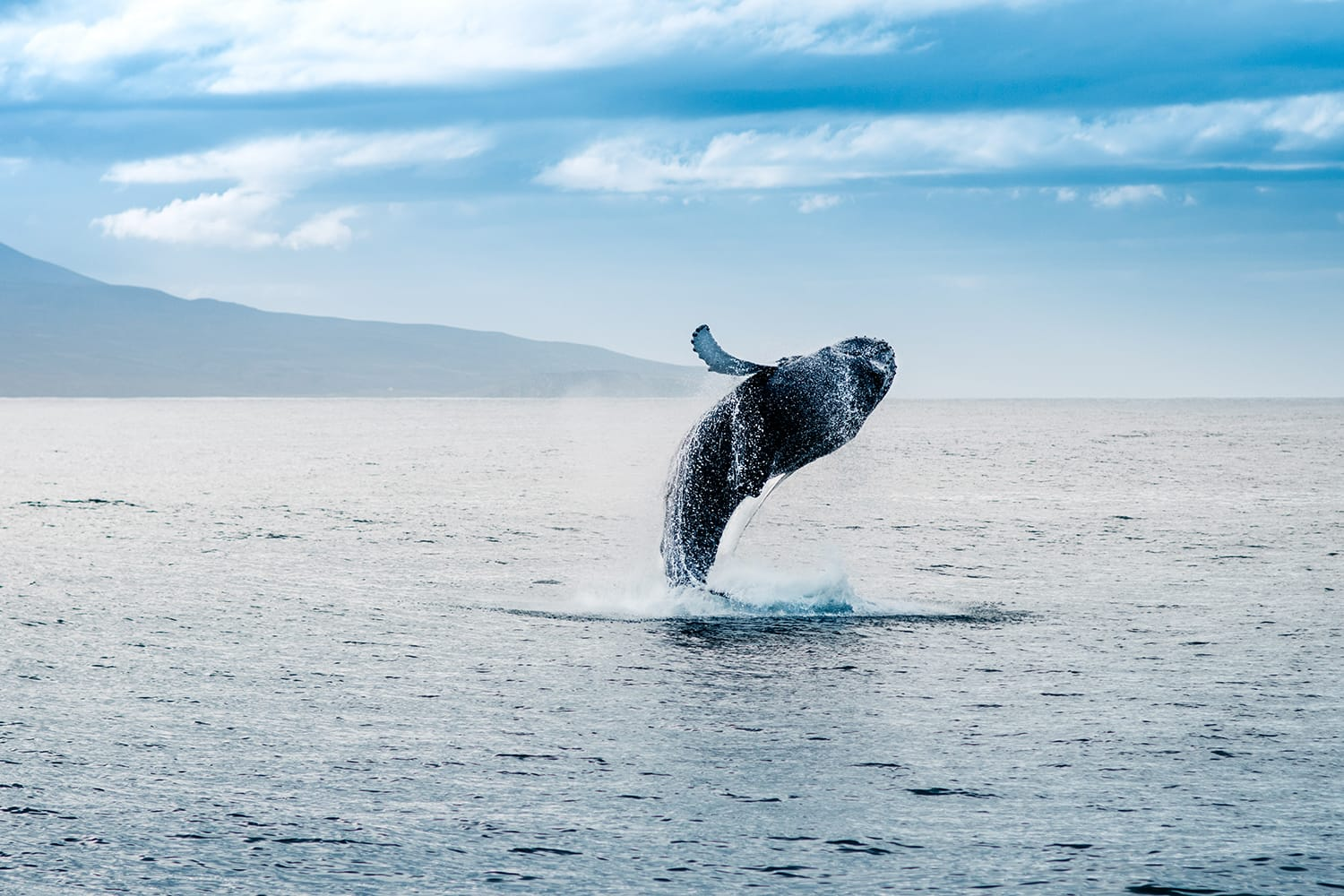 Whale jumping out of water in Iceland