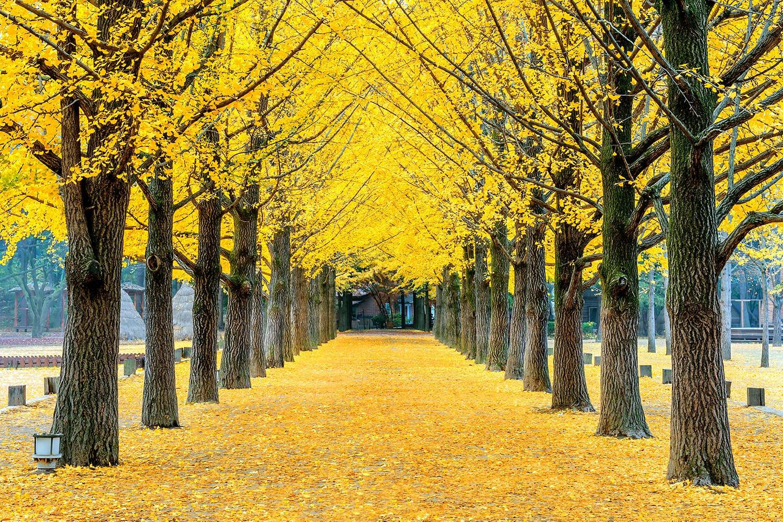 Row of yellow ginkgo trees in Nami Island, South Korea