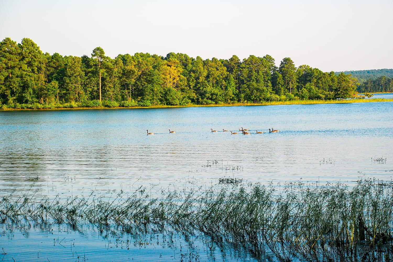 Geese on Degray Lake in Arkansas, USA