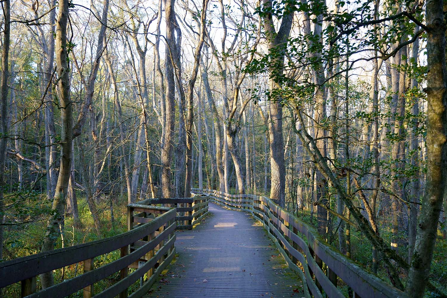 Sun shining through the trees on the boardwalk in Trap Pond State Park, Delaware, USA