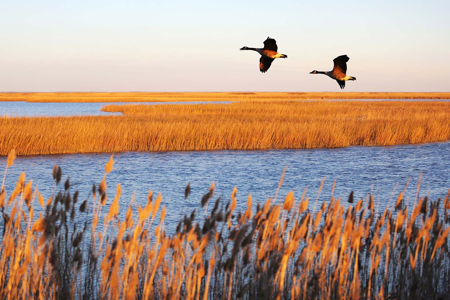 Canada geese in migration at Bombay Hook National Wildlife Refuge, Delaware, USA