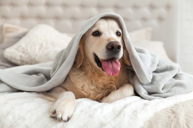 Happy smiling young golden retriever dog under light gray plaid. Pet warms under a blanket in cold winter weather.